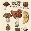 Eatable Mushrooms by Splendid Art Prints