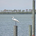 Egret by Bill Cannon