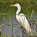 Egret In The Cattails by Al Powell Photography USA