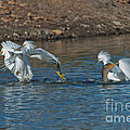 Egrets Robbing A Cormorant by Anthony Mercieca