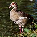 Egyptian Goose by Jouko Lehto