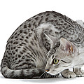 Egyptian Mau Cat by Jean-Michel Labat