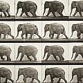 Elephant Walking by Celestial Images