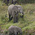 Elephants by John Shaw