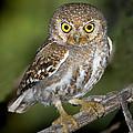Elf Owl by Anthony Mercieca