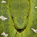 Emerald Tree Boa Amazonian Ecuador by Pete Oxford