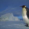 Emperor Penguins At Midnight Antarctica by Tui De Roy