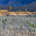 Engelmanns Prickly Pear Cactus by John Shaw