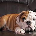 English Bulldog by Borislav Stefanov