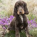 English Cocker Spaniel Puppy by John Daniels
