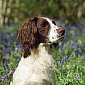 English Springer Spaniel Dog by John Daniels