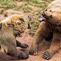 Eurasian Brown Bears Fighting by Nicolas Reusens