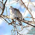 Eurasian Collard Dove by Lori Tordsen
