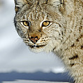 Eurasian Lynx In Snow by Willi Rolfes