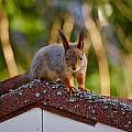 Eurasian Red Squirrel by Jouko Lehto