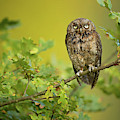 Eurasian Scops Owl by Milan Zygmunt