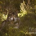 European Wolf by Angel Ciesniarska