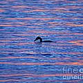 Evening Swim by Joe Geraci