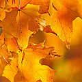 Fall Maple Leaves by Elena Elisseeva