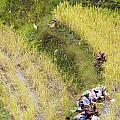 Farmers In Rice Field by Tuimages