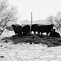 feed and fresh grass laid out for cows on winter farmland Forget Saskatchewan Canada by Joe Fox