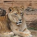 Female African Lion by Cathy Lindsey