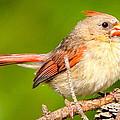 Female Cardinal  by Daniel Nowak