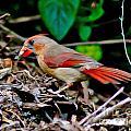 Female Cardinal by Stephen Whalen