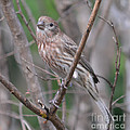 Female House Finch  by Ruth  Housley