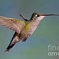 Female Magnificent Hummingbird At Flower by Anthony Mercieca