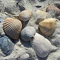 Fernandina Shells  by Cathy Lindsey