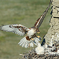 Ferruginous Hawk And Chicks by Anthony Mercieca