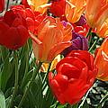 Festival Of Tulips by Dora Sofia Caputo Photographic Design and Fine Art