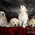 Festive Puppies by Angel  Tarantella