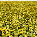 Field Of Blooming Yellow Sunflowers To Horizon by Stephan Pietzko