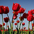 Field Of Red Tulips by Athena Mckinzie