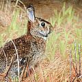 Field Rabbit by Trina  Ansel