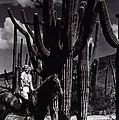 Film Homage Jean Harlow Bombshell 1933 Saguaro National Monument Tucson Arizona Duo-tone 2008 by David Lee Guss