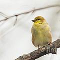 Finch by Cheryl Baxter