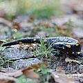 Fire Salamander Fog Droplets by Jivko Nakev