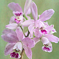 Five Beautiful Pink Orchids by Sabrina L Ryan