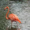 Flamingo by Jamie  Smith