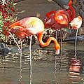 Flamingos by Tom Janca