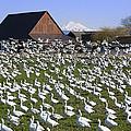Flocks Of Snow Geese by King Wu