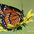 Florida Viceroy by Millard H. Sharp