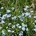 Flowers In Switzerland by Elizabeth-Anne King