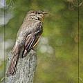 Flycatcher In Southern Missouri by Debbie Portwood