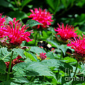 Flying Bee With Bee Balm Flowers by Nancy Mueller