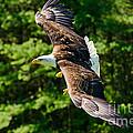 Flying Eagle by Les Palenik