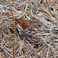 Fox Sparrow 2 by Thomas Phillips